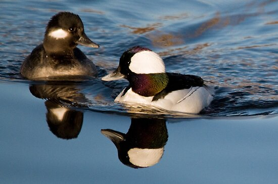 Bufflehead Pair by Eivor Kuchta