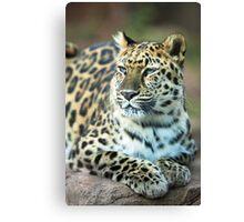 Jaguar Resting in the Sun Canvas Print