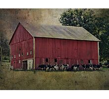 Cows by the Barn Photographic Print