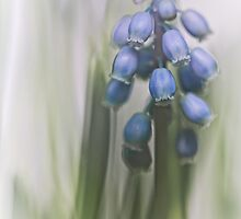 Grape Hyacinth VII by Bob Daalder