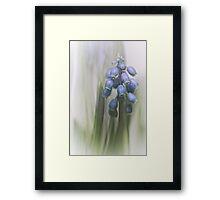 Grape Hyacinth VII Framed Print