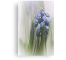 Grape Hyacinth VII Canvas Print