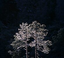 18.1.2013: Pine Trees in Winter's Light by Petri Volanen