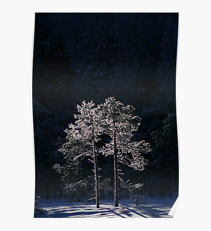 18.1.2013: Pine Trees in Winter's Light Poster