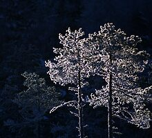 18.1.2013: Pine Trees in Winter's Light II by Petri Volanen