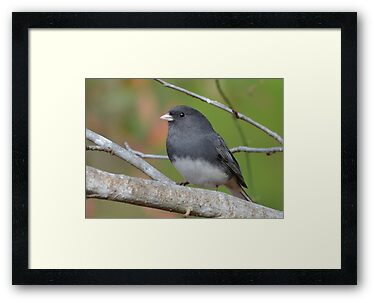 Dark Eyed Junco by Kathy Baccari