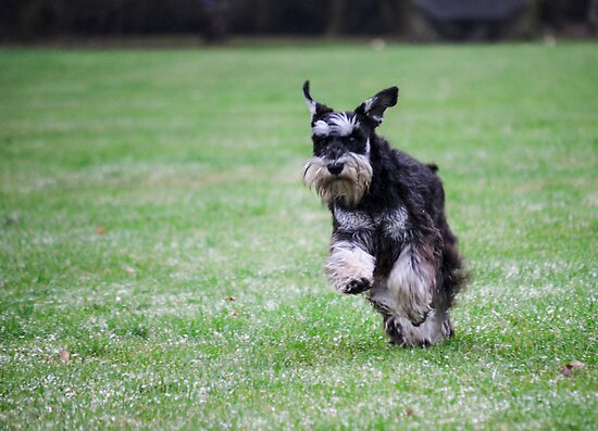Playful miniature schnauzer in full flight  by simon17