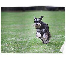 Playful miniature schnauzer in full flight  Poster