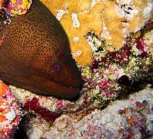 Giant moray Eel  by simon17
