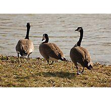 Three Geese Photographic Print