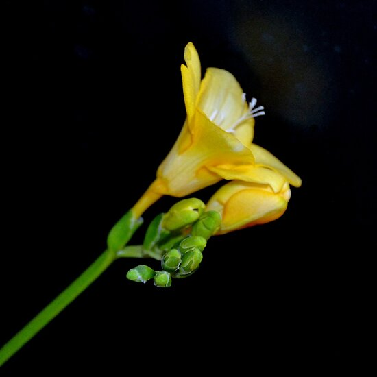 Yellow Freesia by lynn carter