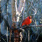 Cardinal In Winter by IcyBC