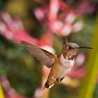 Allen's Hummingbird by Mike Herdering