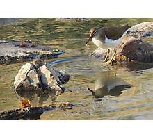 Spotted Sandpiper (Non-breeding Adult) Photographic Print