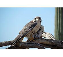 Prairie Falcon~ Eye Contact Photographic Print