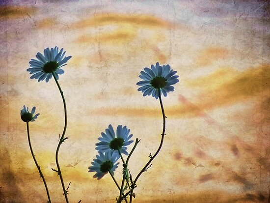 Daisies by vigor