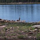 Willow Springs, Arizona Bird Cooling off in a Lake by ToGalaxy