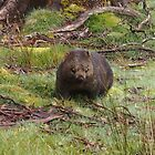 Wombat by Esther's Art and Photography