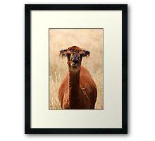 alpaca - movie star? Framed Print