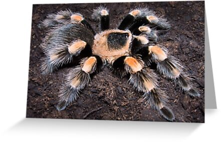 Mexican Red Knee Tarantula by Kawka
