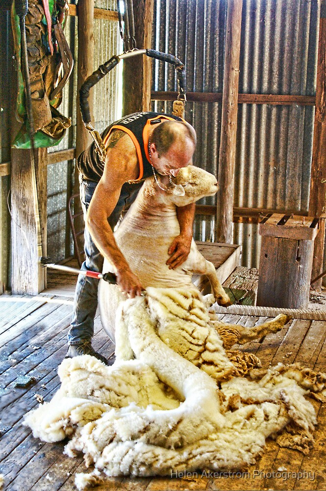 SHEARING FLEECE by Helen Akerstrom Photography