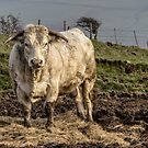 White Bull of Margam by digihill