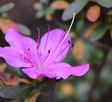 December Azalea by aprilann