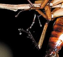 Cockroach on a stick Sticker