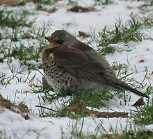 Fieldfare by Peter Wiggerman