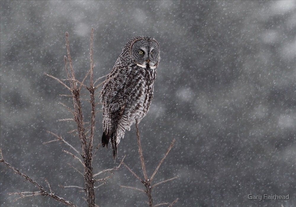 Great Grey Snow Storm by Gary Fairhead