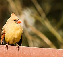 Female Northern Cardinal by Ty Helton