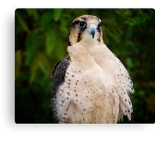 Lanner Falcon? Canvas Print