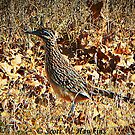 Oklahoma Road Runner by Scott Hawkins