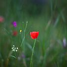 Wild Poppy by MorganaPhoto