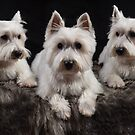 Three West Highland White Terriers  by Mark Bunning
