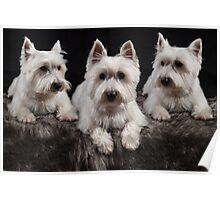 Three West Highland White Terriers  Poster