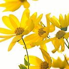 Yellow Daisies by CPProPhoto
