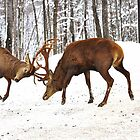Territorial Combat (Wapitis Elks) by Poete100