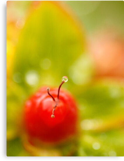 Raindrop on Berry by DIANE  FIFIELD