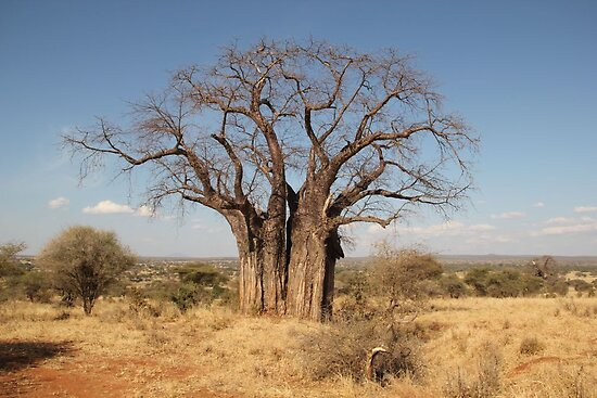 Baobab Tree by LuisSellmeyer