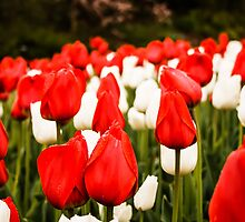 Tulips by Ty Helton