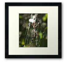 Golden Orbweaver Framed Print