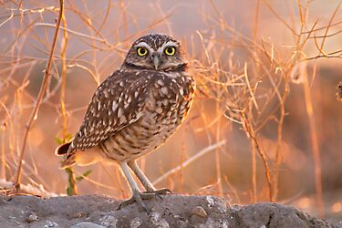 Burrowing Owl at Sunset by utahwildscapes