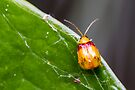 Red-shouldered Leaf Beetle - Monolepta australis by Normf
