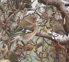 Chaffinch by Gerry Allen