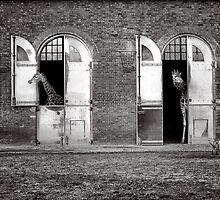 Two giraffes ... by Louise LeGresley