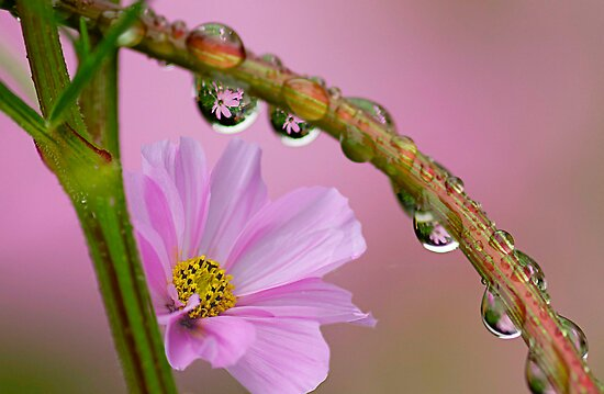 Cosmos in the rain by Clare Colins