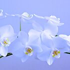 """Day 20   365 Day Creative Project  """"White Orchids"""" by Robyn Williams"""