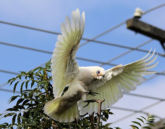 Short Billed Corella  by Kym Bradley