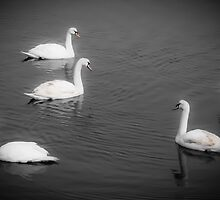 Group of Swans by Elizabeth Thomas
